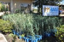 Tremila piante di ulivo di varietà italiane per sperimentare la produzione di olio extravergine di oliva brasiliano di alta qualità