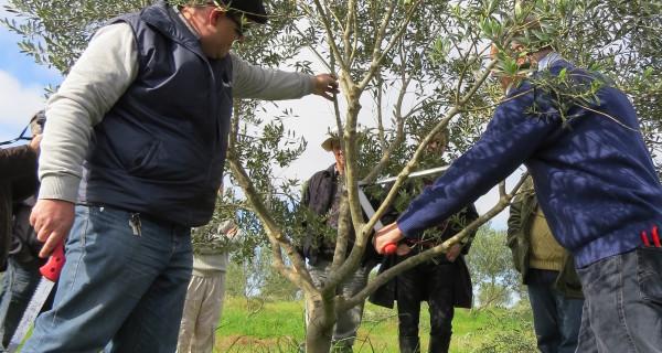 Produttori e tecnici partecipano al corso di formazione sulla potatura degli ulivi